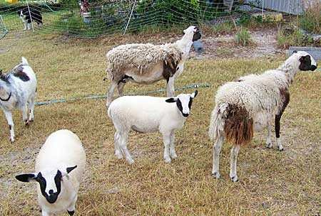 b2ap3 medium clyde sheep0106